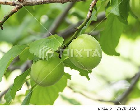 梅の木になる梅の実 78794316