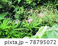 ネムノキ 雨 78795072
