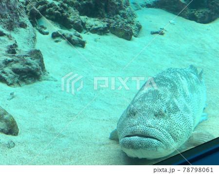 【沖縄美ら海水族館】「熱帯魚の海」水槽にいるタマカイ 78798061