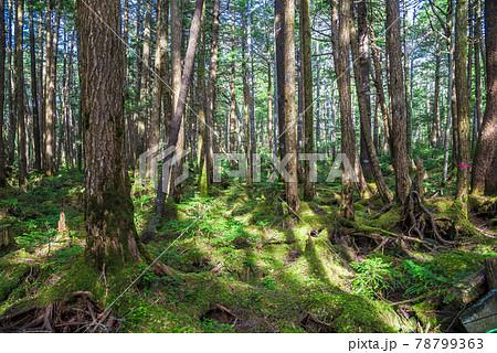 《長野県》佐久穂町 北八ヶ岳 苔の森 78799363