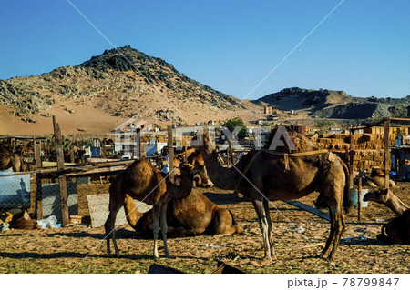 サウデイアラビア ジェッダ市郊外のラクダマーケット 78799847