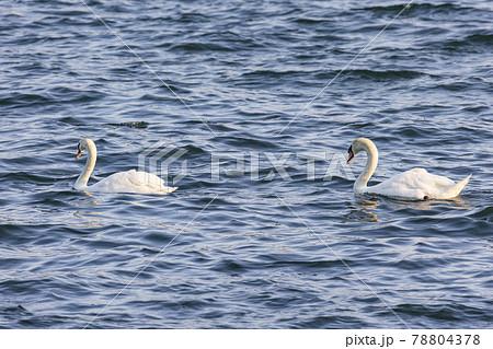 湖を泳ぐコブハクチョウ 山中湖6月 78804378