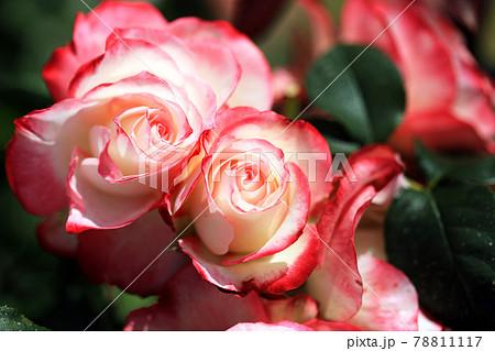華麗なるバラの花33 78811117