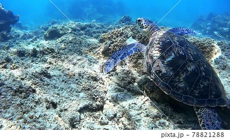 沖縄 阿嘉島のアオウミガメ 水中写真 78821288