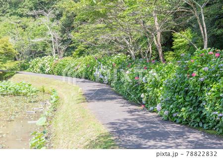 兵庫県三木市にある金剛寺、満開のアジサイの道 78822832