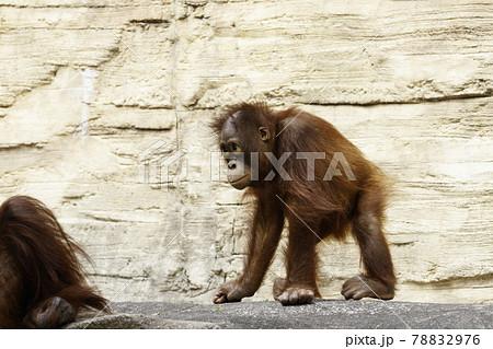 仲間の周りを歩き回るオランウータンの赤ちゃん 78832976
