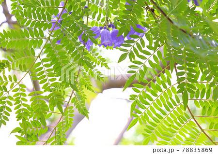 ジャカランダの花~浜名湖ガーデンパーク 78835869