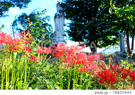 【山梨】初秋のハーブ庭園 満開の彼岸花 78835944