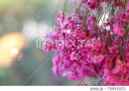 サマーチェリーのピンク【ドライフラワー】 78841021