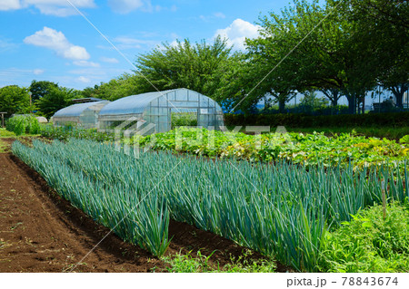 梅雨の谷間の都市農業公園のねぎ畑 78843674