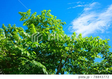 都市農業公園の樹木の若葉に新緑と青空 78843772