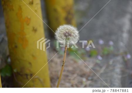 道路のアスファルトから力強く咲く一輪のたんぽぽ 78847881