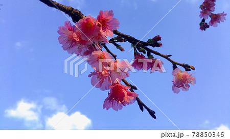 【南国の春】濃いピンク色のカンヒザクラ 78850346