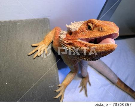 ティラノサウルスのようなフトアゴヒゲトカゲ 78850867