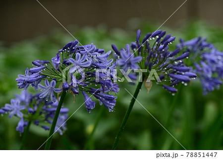 アガパンサスの花と梅雨時のしずく 78851447