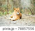 座りながら眠そうに顔を上げるメスのライオン 78857556