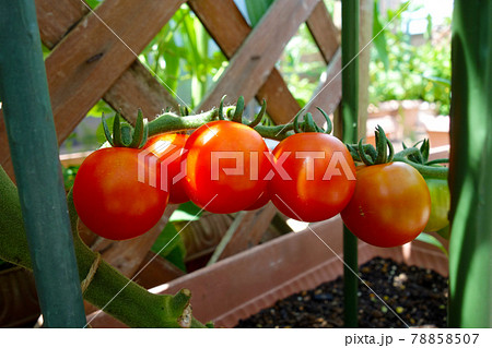 家庭菜園 プランター栽培のグラデーション赤いミニトマト 78858507