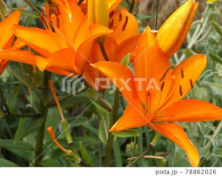 真っ赤な百合の花はスカシユリの花 78862026
