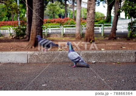 こちらを伺って動かない鳩と歩いている鳩 78866364