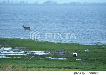 海を歩くエゾシカと海岸のタンチョウ(北海道) 78880530