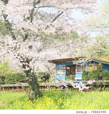 桜と菜の花の千葉県小湊鉄道の飯給駅 78882446