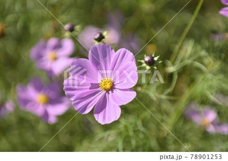 ボケた緑をバックに咲く、ピンク色のコスモス 78901253