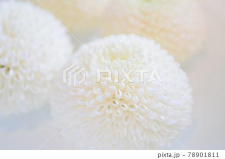 水に浮かんでいる白のピンポン菊 ピンポンマム 78901811