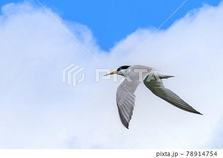 青空バックに餌を探して悠然と飛ぶ繁殖期のコアジサシ 78914754
