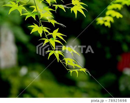 梅雨時のモミジ(竹林寺の境内の青もみじ) 78925698