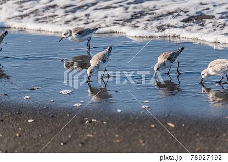 【江の島東浜 冬羽のカモメ】 78927492