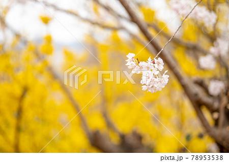 花見山桃源郷の桜とレンギョウ 福島県花見山公園 78953538