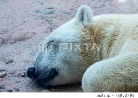 眠るホッキョクグマ 78953799