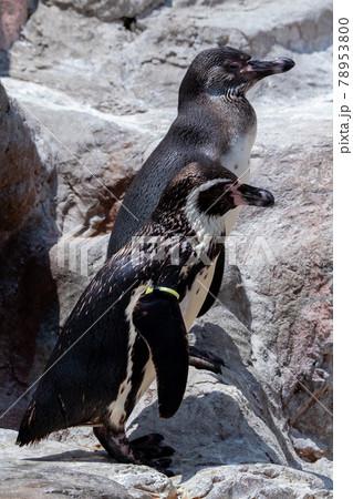 2羽のフンボルトペンギン 78953800
