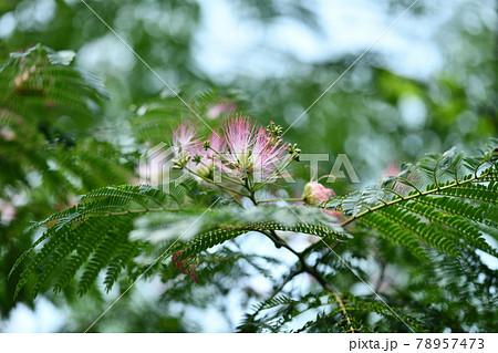 ネムノキ(合歓木)の花 78957473