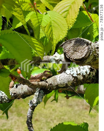 梅の葉に紛れんで一休みするカエル 78977136