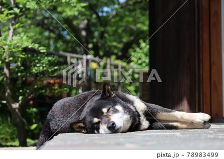 気持ち良さそうに手足を伸ばして眠る黒い柴犬 78983499