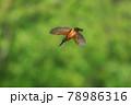 空中でホバリングして獲物に狙いを定めているカワセミ 78986316