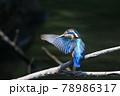 羽づくろいをしているカワセミの愛らしい後ろ姿 78986317