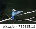 羽づくろいをしているカワセミの愛らしい後ろ姿 78986318