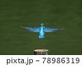 カワセミが羽を広げて滑空で去って行く後ろ姿 78986319