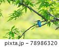 高枝に止まって休憩する初夏のカワセミ 78986320