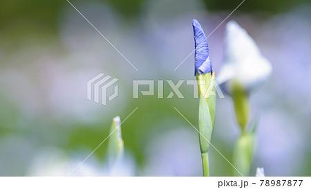 雨上がり、やさしい光を浴びて開花を待つ蕾 78987877