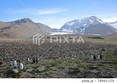 オウサマペンギンのコロニー(サウスジョージア島) 78991159