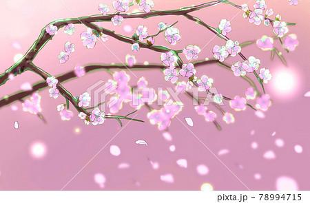 白梅の枝 背景ピンク 78994715