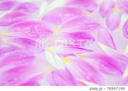 水に浮かぶピンクのダリアの花びら 78997190