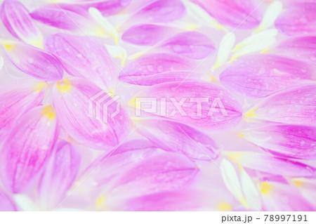 水に浮かぶピンクのダリアの花びら 78997191