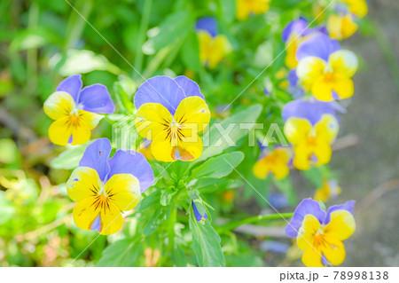 近所の花壇に咲き誇る花々 78998138