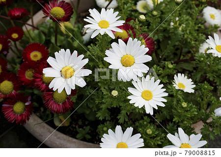 寄植えの白い菊の花と赤いヒナギクの花 79008815