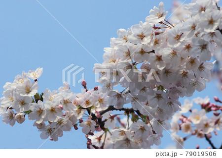 やがて花吹雪の桜の花びらは今が満開 79019506