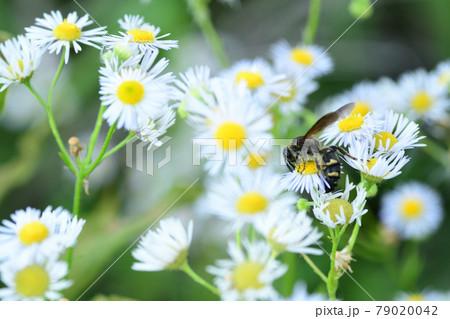 花の蜜を吸うコモンツチバチのメス(埼玉県/6月) 79020042